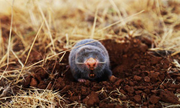 3 Tipps gegen Maulwurfshügel auf deinem Rasen