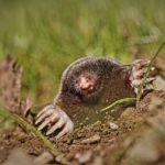 Was tun gegen Maulwürfe? 7 effektive Möglichkeiten, ohne ihn zu töten